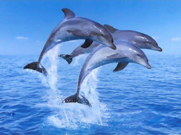 Très du dauphin IB29